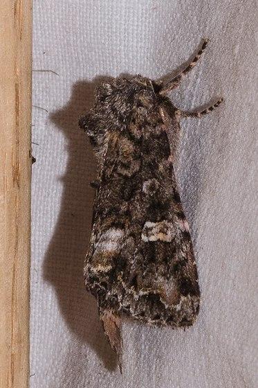 Spiramater lutra 10301, Otter Arches, Noctuidae, Noctuinae, Hadenini - Spiramater lutra