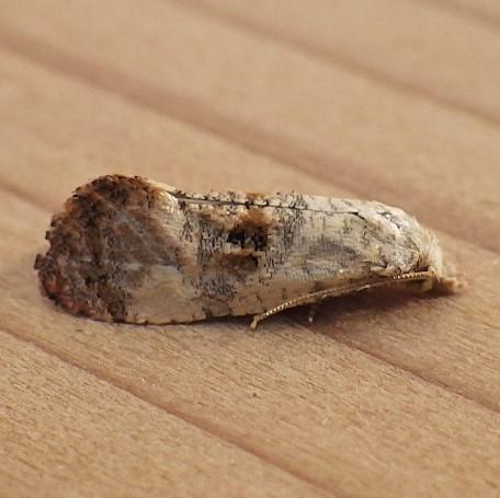 Tortricidae: Cochylis arthuri - Cochylichroa arthuri