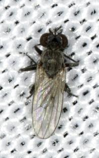 Diptera - Schoenomyza