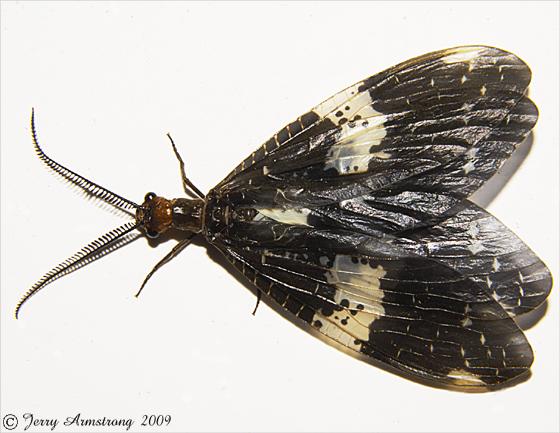 Fishfly - Nigronia fasciata - male