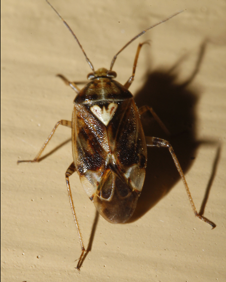 Another Deraeocoris? - Lygus shulli - female