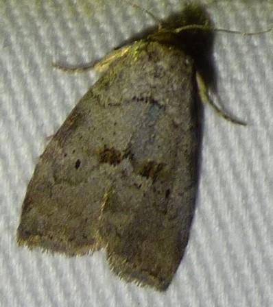 unknown moth - Hyperstrotia pervertens