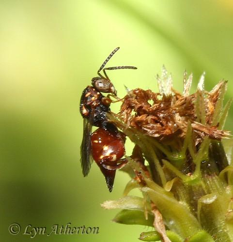 Chalcid species  - Conura - female
