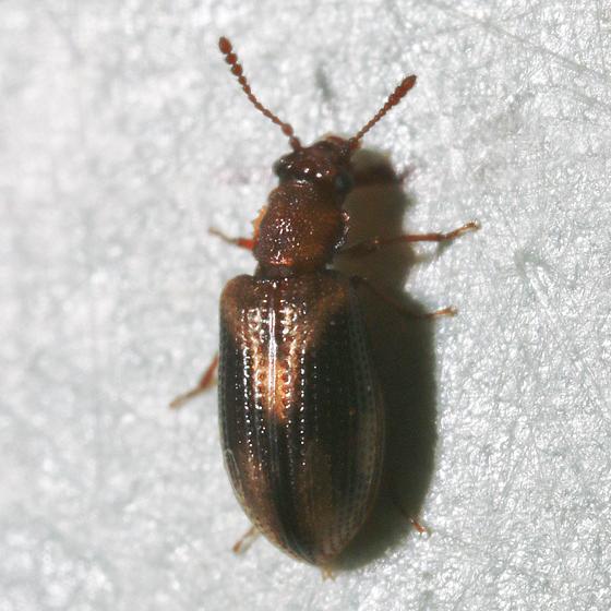 Very small fungus beetle - Derodontus trisignatus