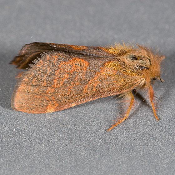 Phymatopus sp ? - Phymatopus hectoides