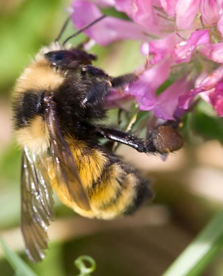 B. borealis - Bombus borealis - female