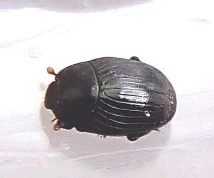 Dendrophilus - Carcinops pumilio - male