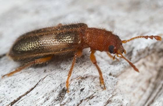 beetle from log - Boschella fasciata