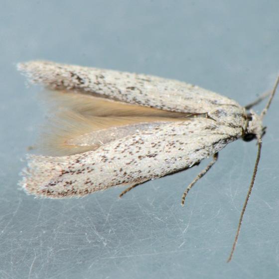 Moth for ID - Mesepiola specca