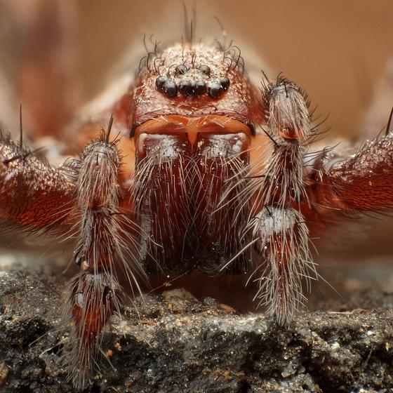 Spider - Tegenaria domestica - male