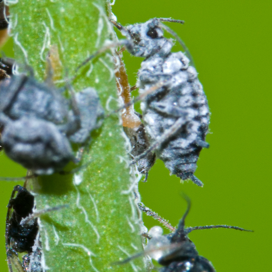 Aphid ID - Aphis craccae