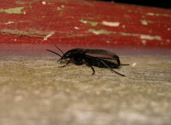 Vivid metallic ground beetle (Chlaenius tomentosus)? - Chlaenius tomentosus