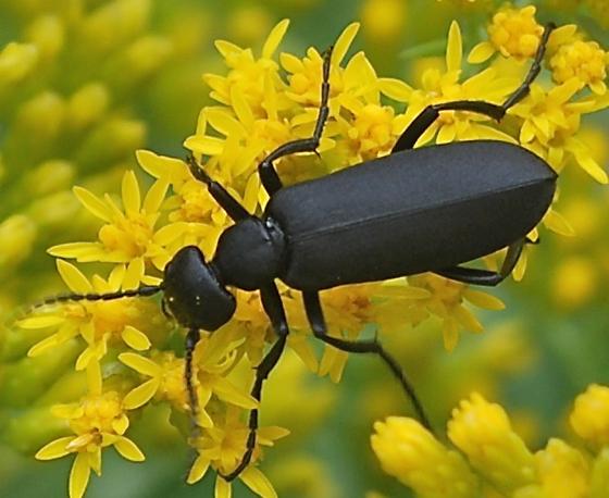 Pitch Black Beetle on Gray Goldenrod - Epicauta pennsylvanica