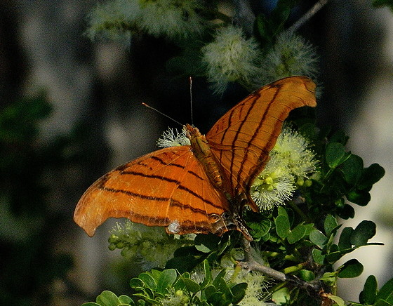 Ruddy Daggerwing without tails - Marpesia petreus