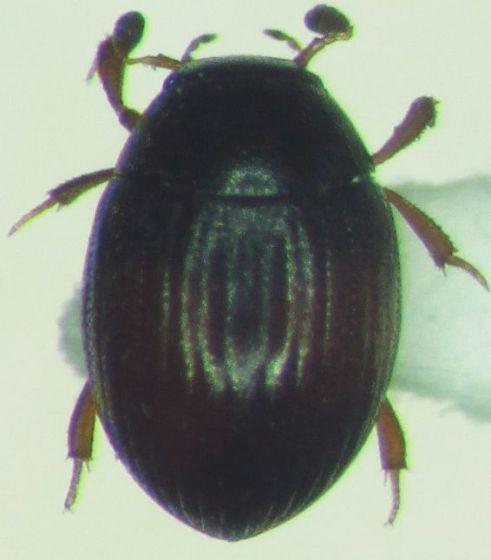 Tiny beetle - Cryptopleurum minutum