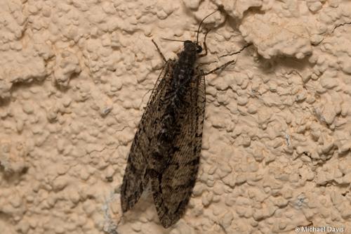 Lacewing - Polystoechotes punctata