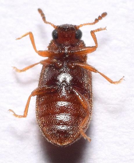 Latridiidae  - Paratenetus