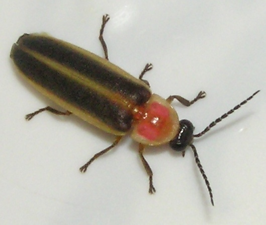 Firefly - Photinus pyralis