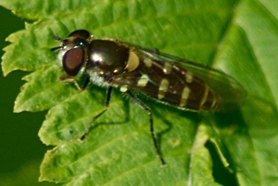 Syrphidae? - Melangyna