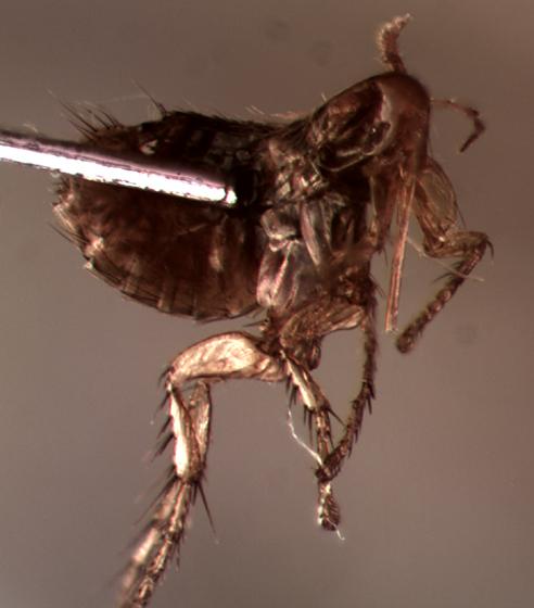 another little flea