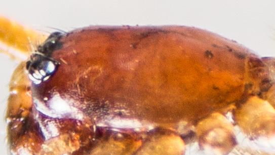 Spider - Grammonota vittata - male