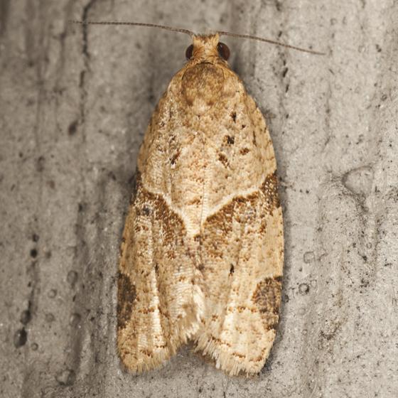 Garden Tortrix Moth - Hodges #3688 - Clepsis peritana