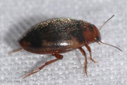 Hydrophilidae? - Neoporus