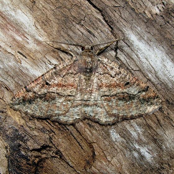 Pterospoda nigrescens - Hodges #6706 - Pterospoda nigrescens