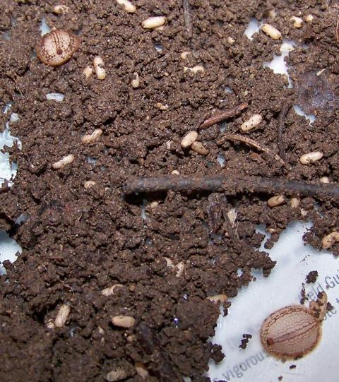 Microdon sp. Larvae - Microdon