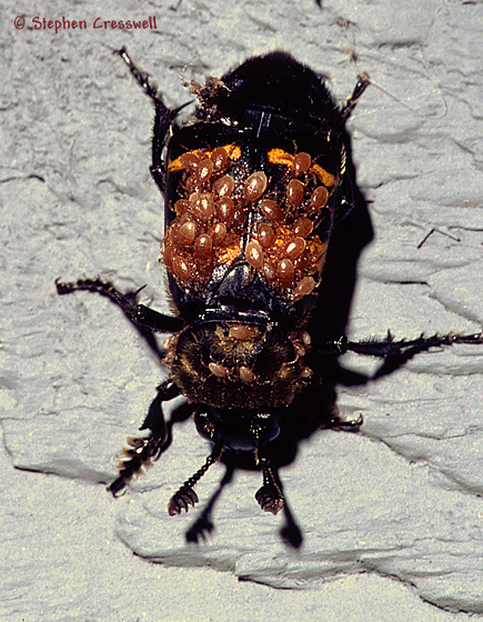 Beetle with Infestation on Its Elytra - Nicrophorus tomentosus
