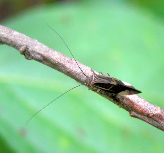 July surprise 2 - Cerastipsocus venosus
