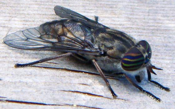 Tabanus? - Hybomitra lasiophthalma