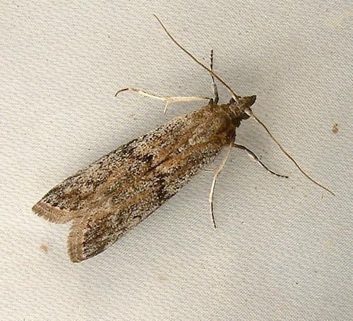 1473 Phycitinae Pyralid ? Ephestia sp - Ephestia