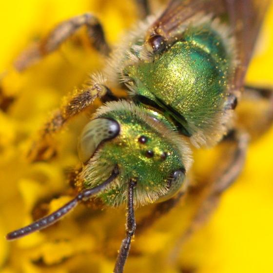 Agapostemon texanus - female