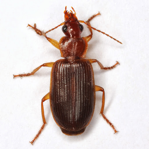 Cymindis punctifera (LeConte) - Cymindis punctifera