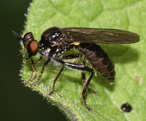 Small  Robber Fly - Eudioctria albius - female