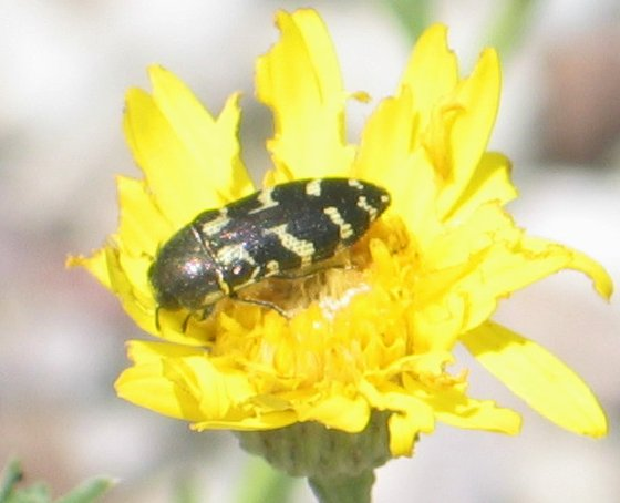 black-and-white beetle - Acmaeodera mixta