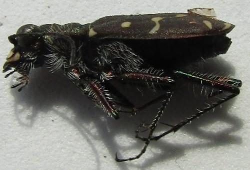 carabid - Cicindela duodecimguttata