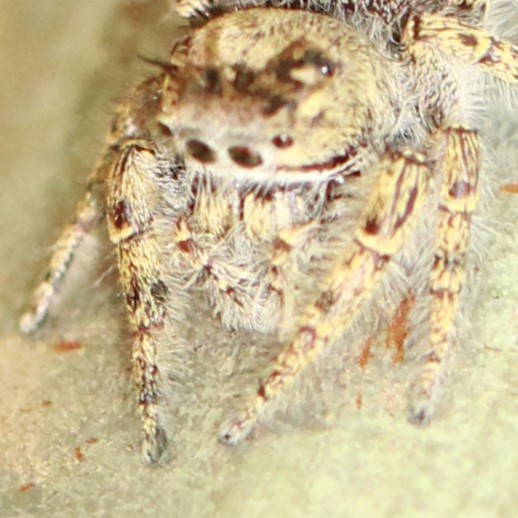 Tan Spotted Jumping Spider - Anterior - Phidippus putnami - male
