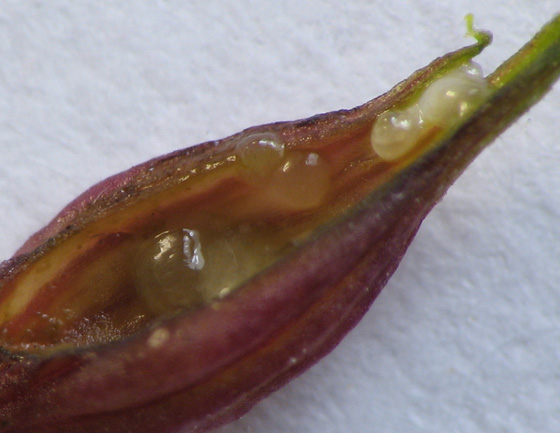 Goldenrod pedicellate gall. Parasites? - Platygaster