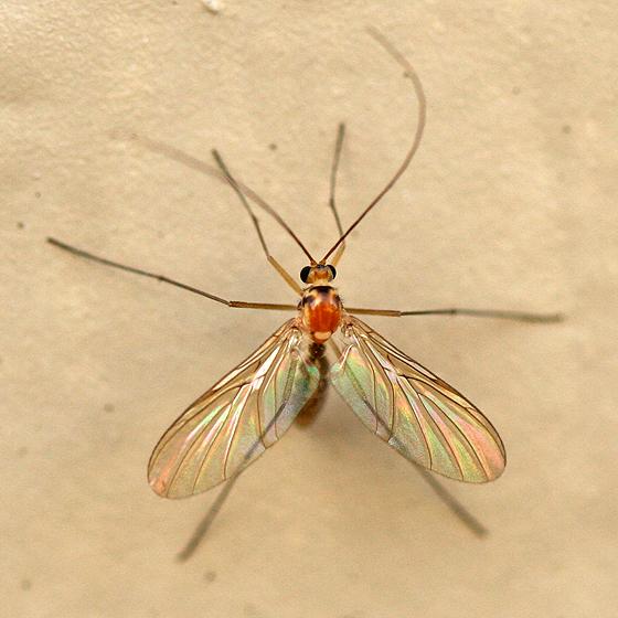 Predatory Fungus Fly - Macrocera