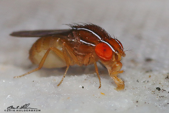 African Fig Fly? - Zaprionus indianus