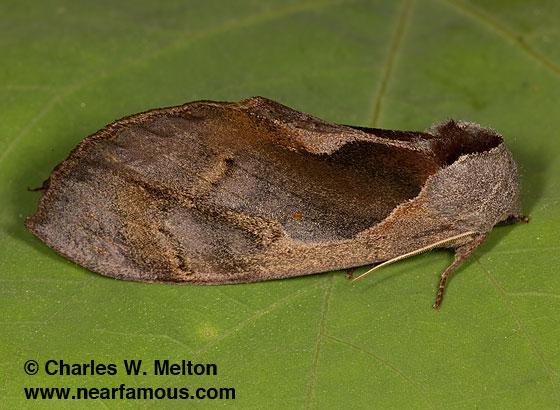 Crinodes biedermani - female