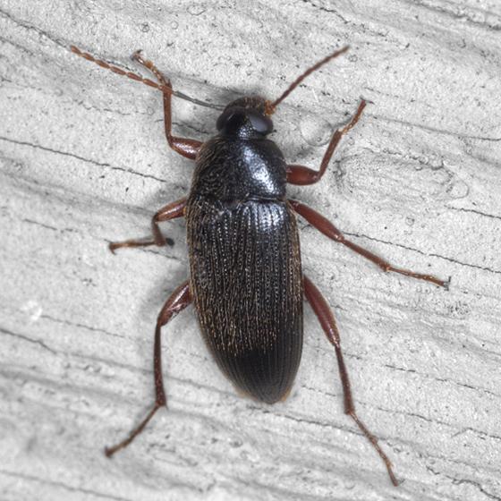 Darkling Beetle - Lobopoda erythrocnemis