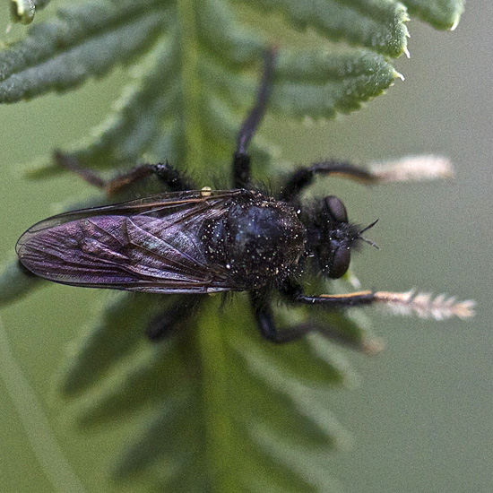Robber Fly - white distal portion of front legs - Cyrtopogon jemezi - male