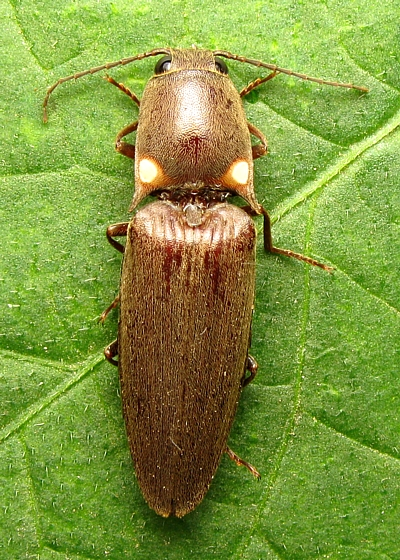 Glowing Click Beetle -  Deilelater physoderus - Deilelater physoderus