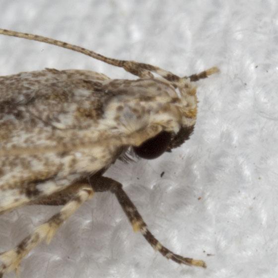 Moth IMG_0212 - Sinoe kwakae