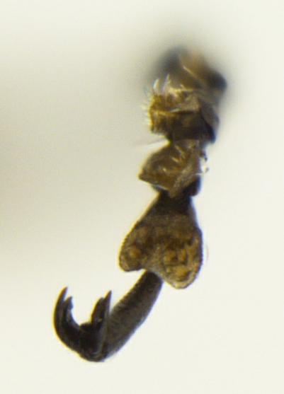 Agrilus acaciae - male