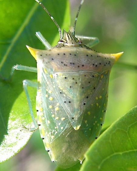 Tomato Stink Bug - Arvelius albopunctatus