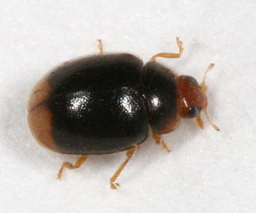 tiny round beetle - Diomus terminatus